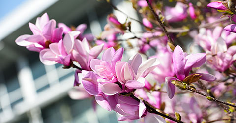 A pink magnolia tree blossoms near the Student Union