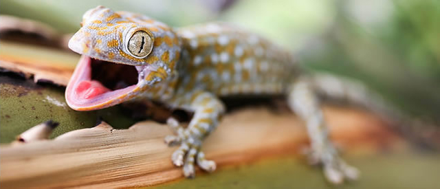 A gecko, which is often the subject of study in biomimickry at The University of Akron