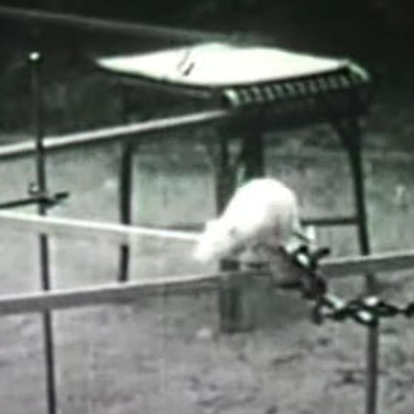 A white rat traversing a thin raised platform