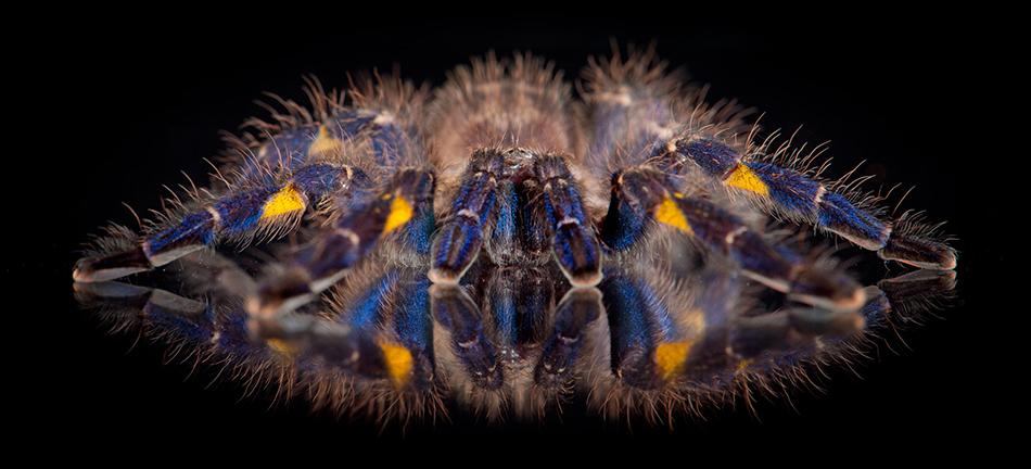 Gooty Ornamental Tarantula view of the critically...