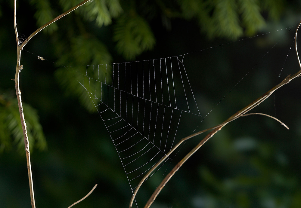 triangle-web-spider