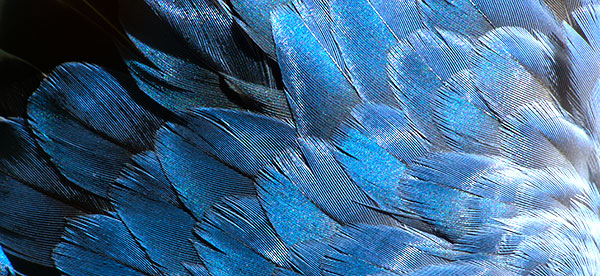 Blue bird feathers layered on top of one another