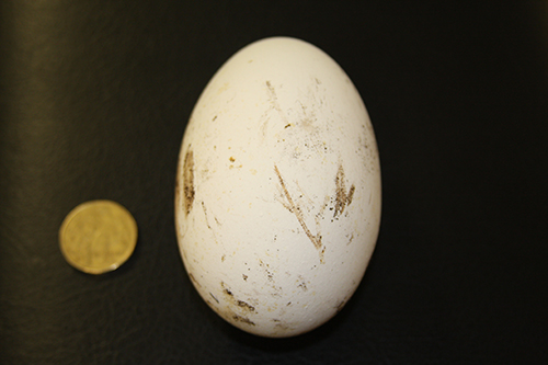 turkey egg